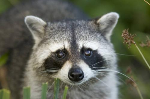Raccoon-a