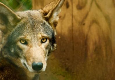Red-wolf-2-by-henri-bonner-ctaj7y