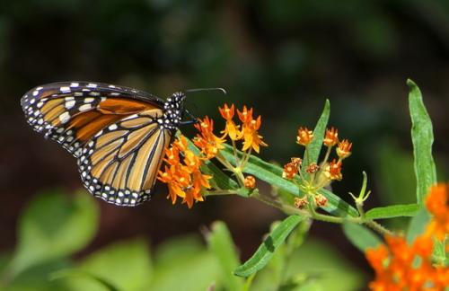 Monarchonmilkweed-lindamaygadnr_crop