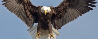 Eagle-guntersville-2012-released-by-tva19c5d3da-1433-492a-bffd-575a94bc323b