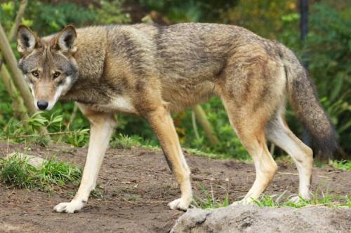 R-wolf