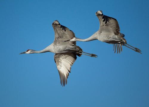 Flying.sandhill.crane_.pair_